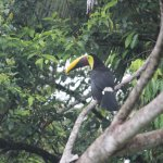 The preening toucan from bungalow #4 balcony