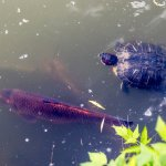 Koi and Turtle in Turtle Pond