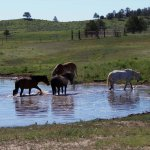 Mares at the watering hole