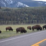 Bison on the main road