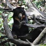 SUn Bear high up in a tree