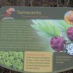 Description of the tamaracks (threatened in Illinois)