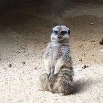 """""""Cute little fella"""" at the Meerkat Manor"""