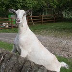 Esther the goat at Low Gingerfield Farm