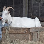 Billy Bob the goat at Low Gingerfield Farm