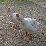 Two geese at at Low Gingerfield Farm