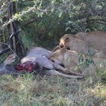 Lions feasting on Kudu