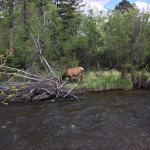 Female elk across the river from the grounds