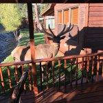 Big elk visiting us at our cabin for breakfast!