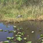 Gator on land, view from airboat!