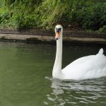 Swan Joins Our Punt Ride in the River Cam