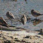 Shorebirds at Bolsa Chica Wetlands