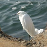 Great White Heron at high tide Bolsa Chica Wetlands Photos Copyright Lorraine Crawford