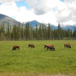 Foto de Rocky Mountain Buffalo Ranch & Guest Cottage Buffalo Tours