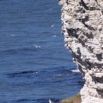 Seabirds nesting at North Landing