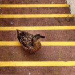 Ducks visiting our front balcony