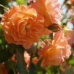 Lake Balaton roses