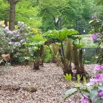 mitten zwischen den Rhododendren