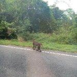 ลิงตูดแดง