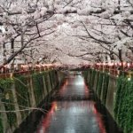wonderful view of cherry blossom trees