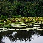 Victoria amazonica pond- Karanambu