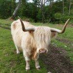 eins der vielen Highlandrinder