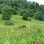 A moose visiting our walking trail along the Winooski River.