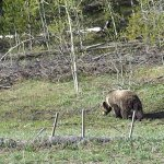 view of grizzly on the way highway on way back to lodge