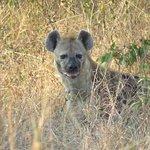 Hyena close to Sinamatella