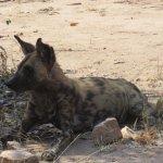 Wild dog next to Mandavu dam