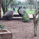 Criatório do sitio (pavão)