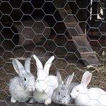 Criatório do sítio (coelhos)