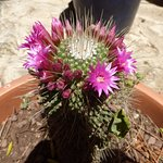 A lovely flowering cactus