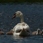 Swan with five cygnets.