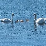 Swan family on lake in front of hotel