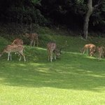 deer on golf course of resort