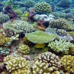 Lemonpeel Angelfish under the coral