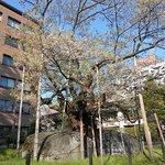 Photo of Rock-breaking Cherry Tree