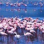 Flamingos Arusha N. Park