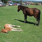 New Forest pony and foal opposite The Lamb public house