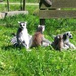 Kattas beim Sonnenbad