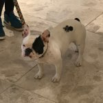french bull dog in lobby