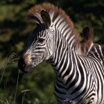Zebra at the local National Park