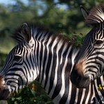 More Zebra at the local National Park