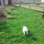 Billy Goats in the play area