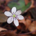 駐車場に咲くオオミスミソウ。一種多彩な花です。