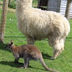 Alpaca & wallaby