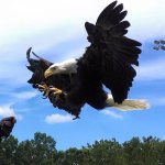 Clark - One of 4 of our flying Bald Eagles