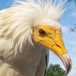 Osirius is our ambassador for the critically extinct Egyptian vulture