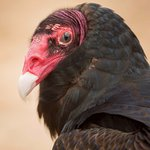Kinsey the Turkey Vulture will teach you all about how important vultures are to the world's hea